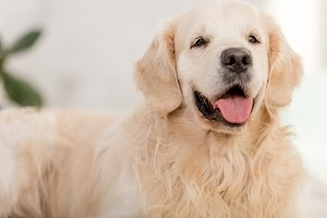 close up of cute golden retriever do