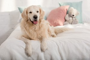cute golden retriever dog lying on b