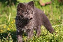 Arctic fox cub by  in Animals