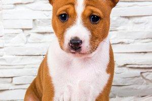 Funny Basenji puppy dog is sitting