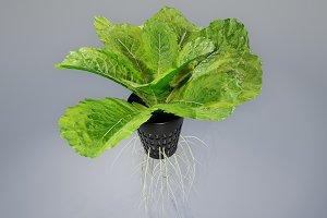 lettuce grean