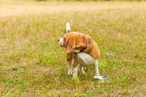 Cute Beagle playing on the grass in