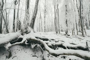 Giant old tree with snow in winter