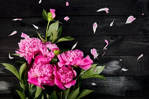iful pink peony flowers on black