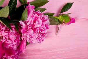 Beautiful pink peony flowers on pink