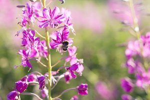 Bee on the flowers of Willow-herb