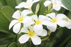liilaawadii flower