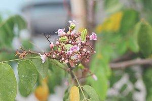 Carambola flower