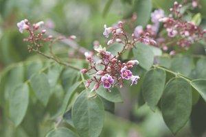 Carambola flowers 2
