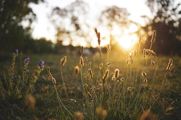 Field flower in golden hour