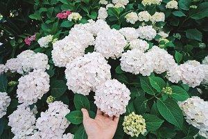 Hand holding beautiful hydrangea