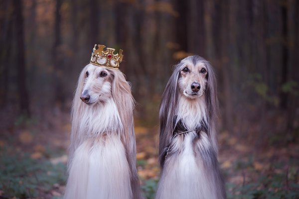 Animal Stock Photos: Wildstrawberry Magic - Dog in the crown,   afghan hounds