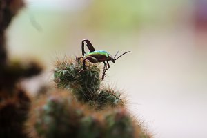 longhorn beetle in the cactus tree