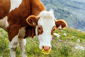 Cow grazing in the mountains