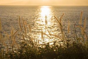 Seashore grass at sunset