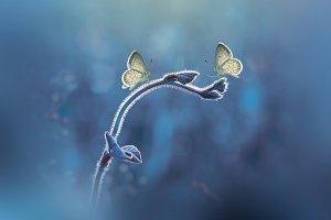 Two Butterflies, Butterfly,