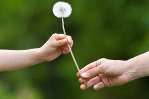 two hands holding a dandelion