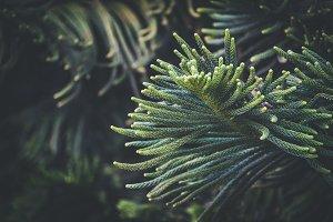 Leaves of Norfolk pine tree IV