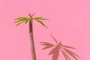 Palm tree on pink wall. Tropical min