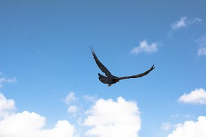Crow flying over blue sky
