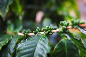 Green coffee fruit on plantation