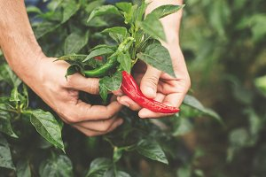 Farmer hands with peppers