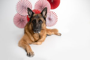 German Shepherd Dog on Valentines Da