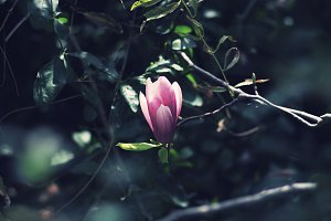 Magnolia flower on darkness.
