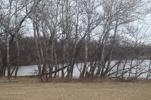 Stand of Birch Trees at Winter Lake
