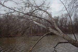 Fallen Tree over River in Winter