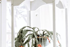 Hanging Christmas Cactus Plant