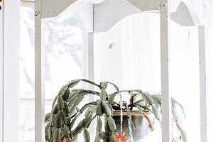 Hanging Christmas Cactus Plant