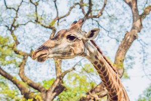 giraffe eating from a tree in a
