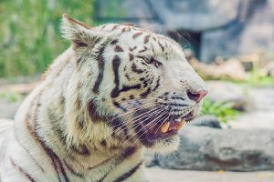 Portrait of a white tiger at the