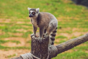 Lemur catta sits on a fence at the