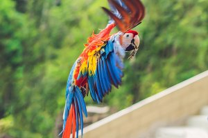 Blue and yellow Macaw in flight