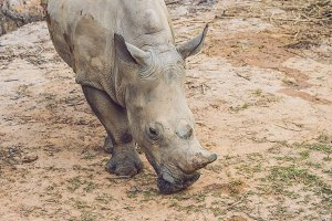 White rhinoceros in the beautiful