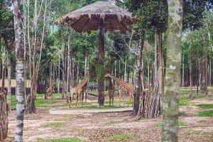 Giraffes eat tree branches in safari