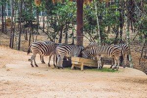 Zebras eat green grass in safari