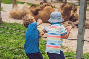 The boy looks at the camels at the