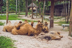Camels rest on the farm after lunch