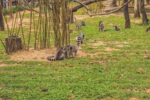 Lemur catta runs around the grass in