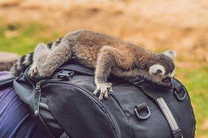 Lemur climbed onto the man. Animal