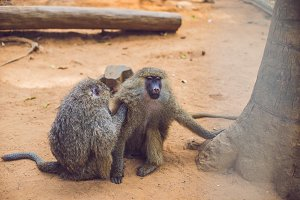 monkey is looking for fleas from