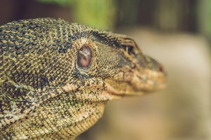 A large lizard in the terrarium of