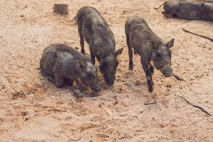 Family of warthogs rest on the