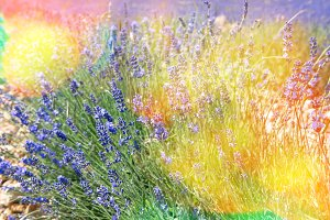 Blossoming of lavender flowers