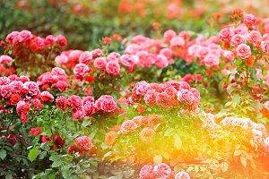 Roses garden. Summer flowers