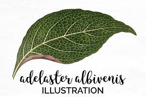 Leaf Green Aeelaster Albivenis