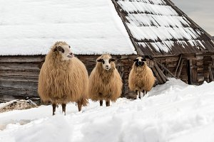 Young sheep in the mountains